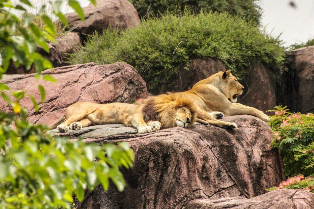 belgrade-zoo-animals-lions