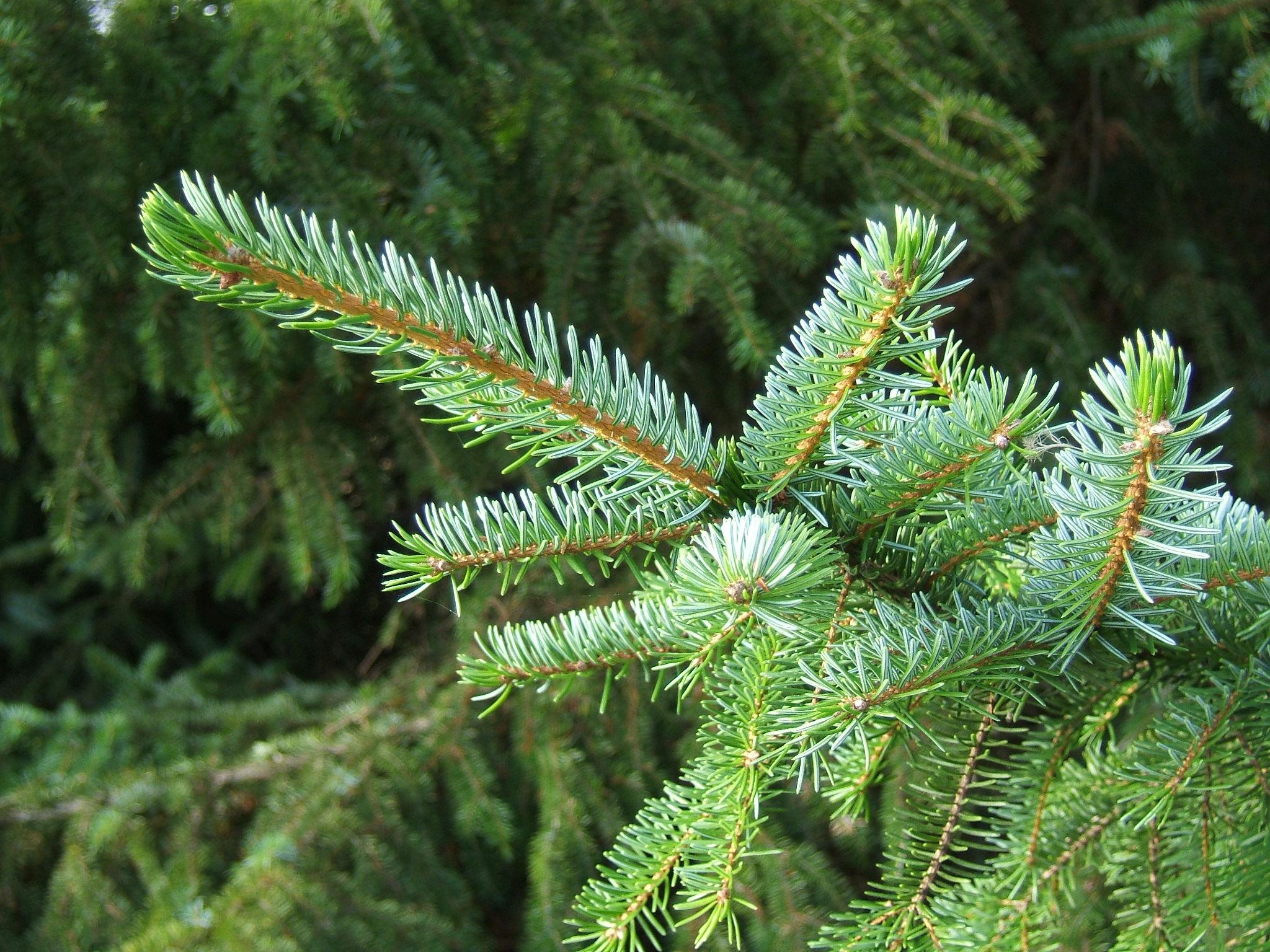 Picea-omorika-1
