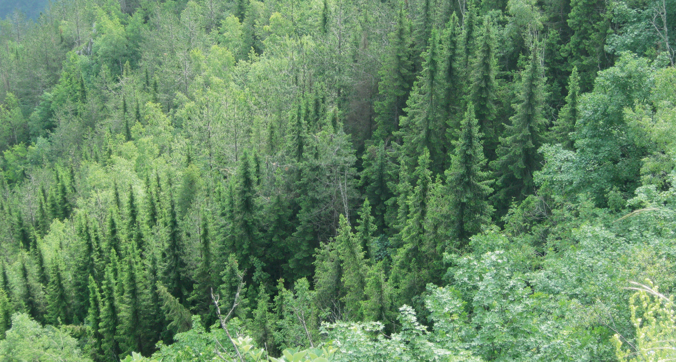 Picea-omorika-forest